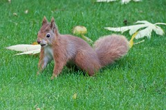KMH_3646 (Island Snapper) Tags: redsquirrel iow wight shanklin