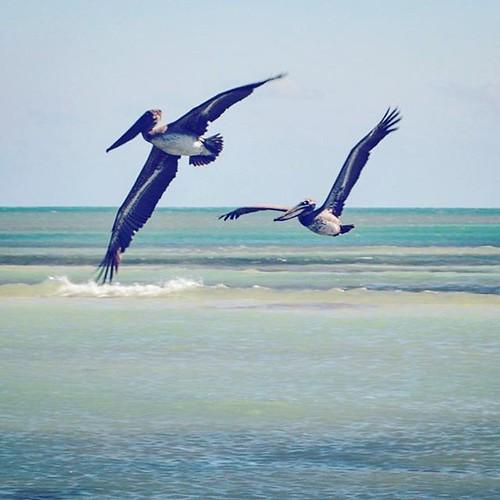 Pelicans fishing at Bahia Honda. #bahiahonda #floridakeys #overseashighway #florida #miami #usa