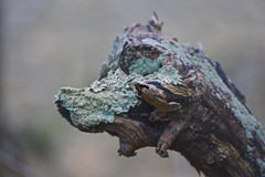 My Friend!!! (ineedathis,The older I get the more fun I have....) Tags: weatheredwood rover dog lichen sculptedbynature nature autumn fantasy spalded bokeh trees nikond750 coldspringharbor huntington longisland wood branch