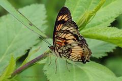 IMG_0591 Junonia sophia (Raiwen) Tags: nymphalidae nymphalinae junoniini junonia junoniasophia insect butterfly africa westafrica guinea moyenneguine lowlandrainforest