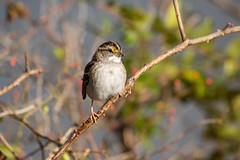 7K8A0771 (rpealit) Tags: scenery wildlife nature state line lookout whitethroated sparrow bird