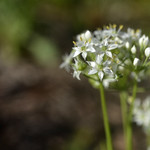 Allium Flowers thumbnail