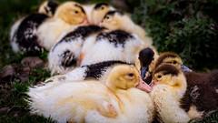 Keeping warm (stevehimages) Tags: steve steveh stevehimages wowzers warden west midlands 2016 baby ducks stonewall staffordshire