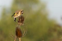 Chardonneret lgant. European Goldfinch. (parman31) Tags: chardonneretlgant cardueliscarduelis europeangoldfinch passriformes fringillids