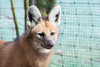 Mähnenwolf (grasso.gino) Tags: tiere animals natur nature zoo dortmund nikon d5200 hund dog mähnenwolf