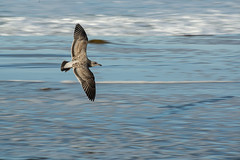 LRL_0137-web (doolittle-photography.com) Tags: nikon d600 nikpond600 80200 nikon80200 fullframe fx ocean sea pacificbeach seagull