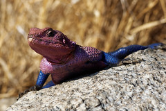 Mwanza flat-headed rock agama (Nicolas Bousquet) Tags: mwanza flatheaded rock agama mwanzae pink blue lizard tanzanie tanzania serengeti gamedrive safari savane savannah africa afrique