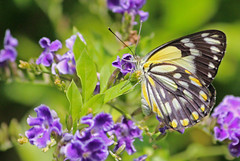 Caper White Butterfly 20 (DMT@YLOR) Tags: butterfly caperwhitebutterfly goodna ipswich queensland australia geishagirl macro closeup