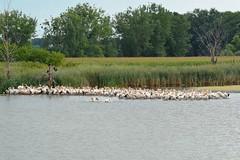 Pelican- American White Pelicans, Minnesota, Lyon County, Sham Lake (EC Leatherberry) Tags: wildlife minnesota pelecanuserythrorhynchos lyoncounty lake shamlake americanwhitepelican