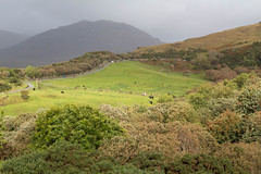 IMG_1422.jpg (Anyore) Tags: connemara cows vaches vache cow green vert irlande ireland eire europe europa canoneos700d tamron1750 cloudy nuageux nuages nuage clouds cloud september tree arbre trees arbres mountains mountain nature randonne