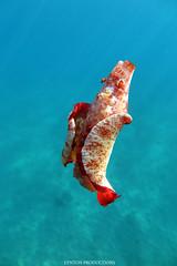 IMG_0208 (Aaron Lynton) Tags: spanish dancer snorkel scooter maui hawii hawaii canon g1x spanishdancer turtle honu tako octopus ocean animals papio yellowspotpapio starfish