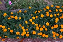 S90_walking1_128ClintLidster2013 (clintlidster) Tags: flowers brisbane canons90 urban suburbs