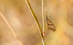 A snout-nosed butterfly (Photosuze) Tags: butterflies desert bugs snouts americansnouts insects perched animals wildlife nature