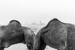 A pair | Pushkar camel fair,Rajasthan. (vjisin) Tags: pushkar rajasthan india iamnikon nikond3200 asia camel streetphotography street indianstreetphotography incredibleindia indianheritage travelphotography pushkarcamelfair inexplore outdoor sport animal travel nikon nikonofficial