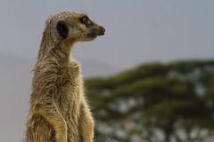 Getting late (robertcampbellphotography) Tags: paradisewildlifepark meerkat animal zoo uk suricate mongoose