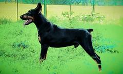 CAN (cortaypega) Tags: perros animales mascotas