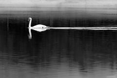 White Swan Black Water (Iaki MT) Tags: iaki iakimt neck amazing nature water beauty lake background elegance animal pond wild feather mateos wildlife beautiful swan swimming bird beak one mute iakimateostierno blackandwhite iakimateos white manzanareselreal comunidaddemadrid espaa es