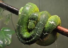 DSC_0560 (Thomas Cogley) Tags: toronto zoo thomas cogley thomascogley snake reptile green water drop curled curl