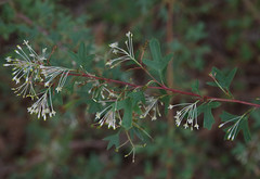 Grevillea manglesii, Kings Park, Perth, WA, 02/09/16 (Russell Cumming) Tags: plant grevillea grevilleamanglesii proteaceae kingspark perth westernaustralia