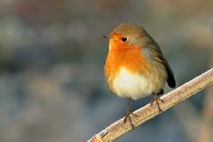 Fluffed up in the cold. (david.england18) Tags: robinredbreast robin smallbirds various tits blue great queensparkheywood sun shadow f28l canon7d canonef70200mmf28lisllusm birduk