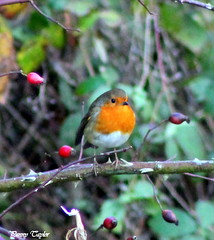 robin (alpenfrankie) Tags: canon eos 1100d animals wildlife bird nature robin reserve red colour ywt pottericcarr