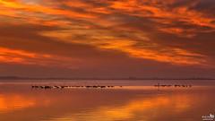 Geese (BraCom (Bram)) Tags: bracom sunset zonsondergang ganzen geese birds vogels cloud wolk reflection spiegeling lake meer water evening avond herkingen grevelingen goereeoverflakkee zuidholland nederland southholland netherlands holland canoneos5dmkiii widescreen canon 169 canonef24105mm bramvanbroekhoven nl