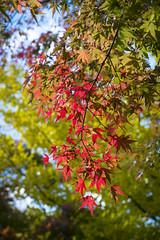Autumn - Fujikawaguchiko, Japan (banzainetsurfer) Tags: japan autumn fall color red orange green yellow nature natural leave tree leaf asia fuji kawaguchiko lake fujikawaguchiko light season change utsuroi yamanishi