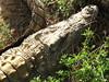 Aligator_4 (@ FS Images) Tags: tieresüdafrikatieparklandwasser aligator liegend kopf