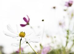 Cosmos... (svet.llum) Tags: flor flores cosmos planta mosc parque rusia