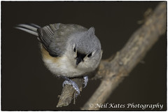 Tufted Titmouse_DSC4988 photoshop NIK edit  (nkatesphotography) Tags: peacevalleypark naturecenter fountainvillepa nikond4 nikonafs300mmf4epfedvr birds wildlife nature tuftedtitmouse