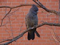 Canberra '15 (faun070) Tags: bird wildlife parrot canberra cockatoo ganggangcockatoo