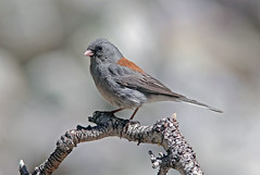 Dark-eyed Junco (Junco hyemalis) (Ron Wolf) Tags: bird nature nationalpark adult wildlife nevada explore darkeyedjunco juncohyemalis emberizidae greatbasinnationalpark grayheadedjunco
