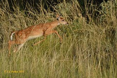 August 9, 2015 - A young fawn goes flying at the Arsenal. (Ed Dalton)