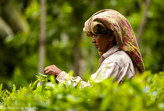 Tea pickers (christophe monteil) Tags: voyage travel woman women tea indianocean srilanka galle jaffna trincomalee teaplantation sigiriya tamoul tamils oceanindien teapickers monteil tamouls christophemonteil chrismonteil poquitochris teapickersgalle