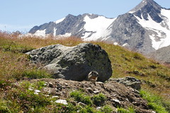 Murmeltier (omefrans) Tags: summer austria hiking ötztal summerholiday