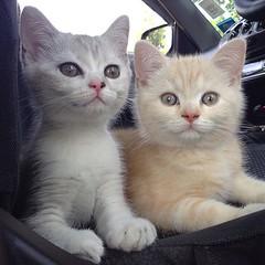 Morning Kub #ณเดช #ญาญ่า #cat #cats #neco #kitten #catoftheday #lovecat #cutecat #neko #ねこ #고양이 #猫 #catstagram #catofinstagram #instacat #ilovecat #animal #catlovers #cute #welovecat #kittenofinstagram #kittens #kitty #petofinstagram #pet #scottishfold #f