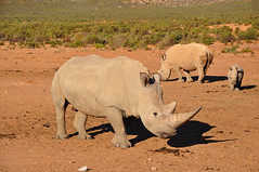 rhinos_1 (Dime Pashoski) Tags: africa nature desert south safari rhino elephants aquila bufallo