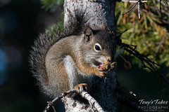 September 11, 2015 - This pine squirrel in Arapaho National Forest was hungry. (Tony's Takes)