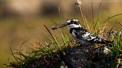 Pied Female with catch (michael heyns) Tags: female catch botswana chobe piedkingfisher bontvisvanger zim2015