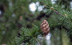pine tree (Andrey (aka Ventrosus)) Tags: tree pine forest cone