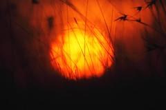 Sunset through the grass (Primus D'Mello) Tags: sunset kenya safari mara maasai primus maasaimara dmello primusdmello