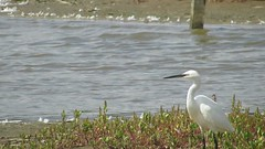 Photo of Little Egret (egretta garzetta)