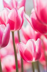 flower (inmt_24) Tags: pink flowers cute nature floral spring energy colorful fresh tulip fullbloom