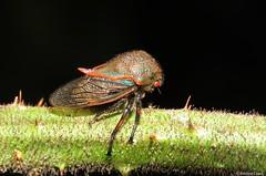 Metcalfiella sp (Membracidae) (Brayan Coral Jaramillo) Tags: treehopper treehoppers metcalfiella