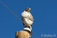 October 10, 2015 - A pretty young Red Tailed Hawk in Adams County. (Bobby H)