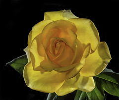 Backlit Glowing Yellow Rose (Bill Gracey) Tags: flower color fleur rose yellow blackbackground garden colorful flor rosa glowing backlit softbox luminous backlighting homestudio luminescent filllight tabletopphotography honlsnoot lastoliteezbox yn560 roguegrid yn560ii yongnuorf603n yn560iii saintpatrickrose