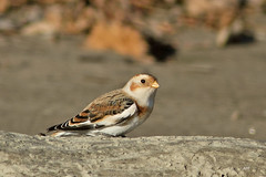 Plectrophane des neiges / Snow Bunting (alain.maire) Tags: canada bird nature quebec snowbunting plectrophenaxnivalis emberizidae plectrophanedesneiges