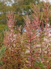 Fluffy and Pink (Alexander Michael Crow) Tags: pink autumn color fall leaves scotland highlands colours fluff fireweed caithness strath tinder rosebaywillowherb dunbeath neilgunn dunbeathstrath highlandrivercountry