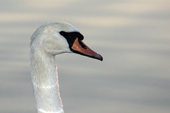 Mute Swan Close-Up (lens buddy) Tags: birds swan wildlife lancashire waterfowl muteswan pinelake wildfowl carnforth canoneosdigital