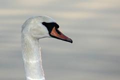 Mute Swan Close-Up (lens buddy) Tags: birds swan wildlife lancashire waterfowl muteswan pinelake wildfowl carnforth canoneosdigital